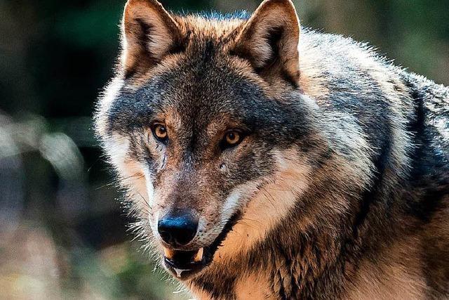 Die Besorgnis vor dem ersten Wolf geht unter Ziegenhaltern im Wiesental um