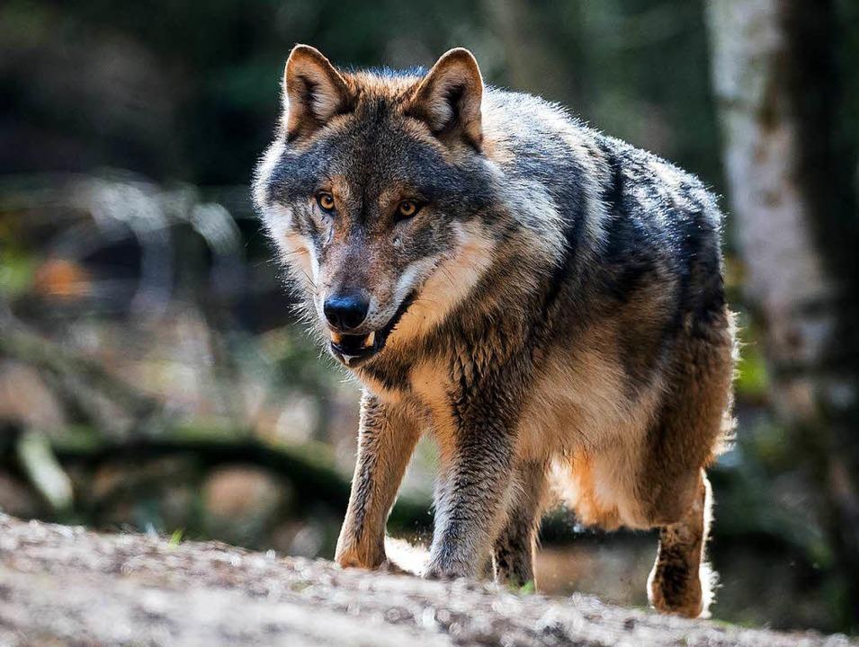 Ein Wolf im Gehege    Foto: dpa