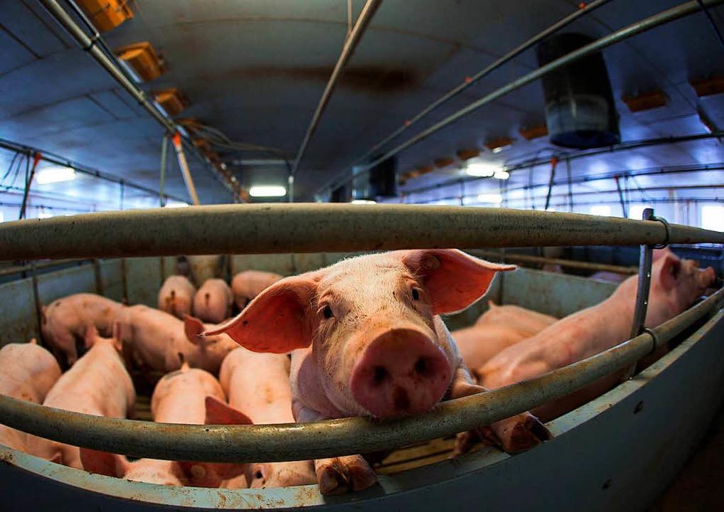 Haben oft kein besonders angenehmes Leben: Mastschweine.  | Foto: Jens Büttner