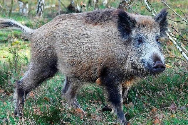 Freiburger Tierarzt warnt vor Ausbreitung der Afrikanischen Schweinepest