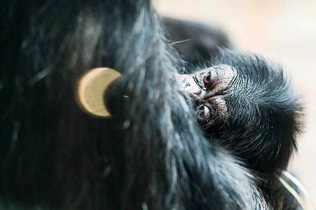 42-jährige Schimpansin im Basler Zoo wird Mutter