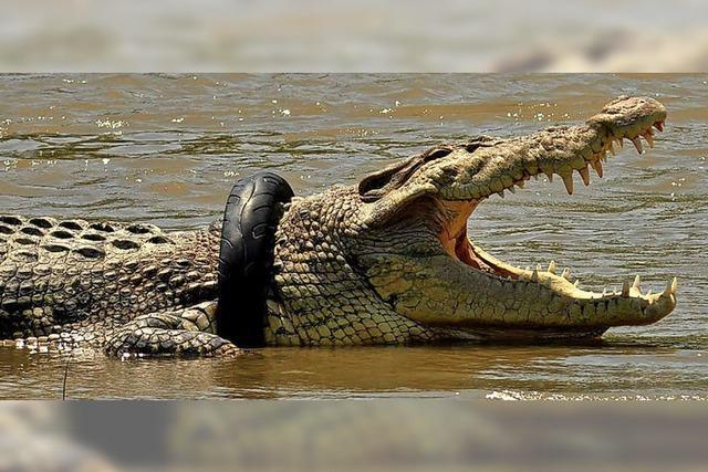 Krokodil in der Klemme