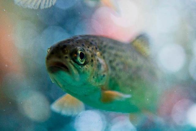 300 Forellen aus Teich gestohlen
