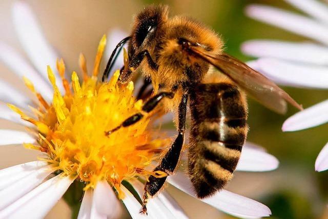 Neue Hoffnung für die Bienen