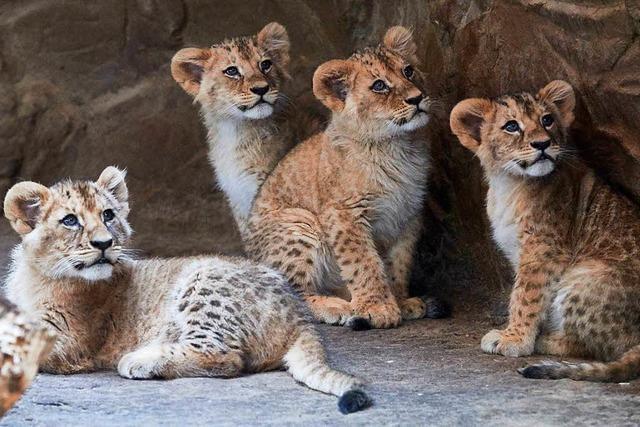 Zoo tötete über Jahre hinweg Löwenjunge