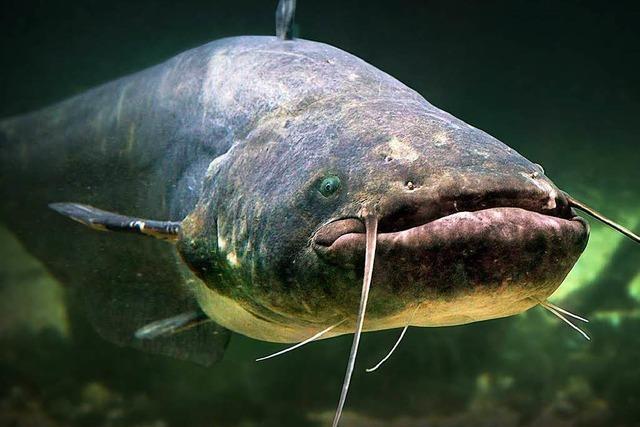 Weiler Angler sind über festgebundenen Wels entsetzt