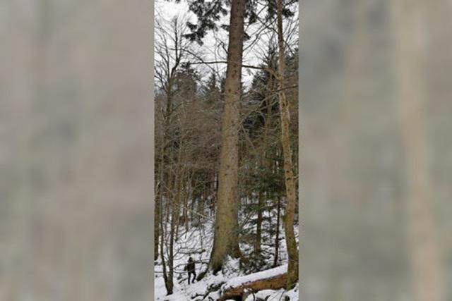 Die Riesen im Schwarzwald haben Geschichten