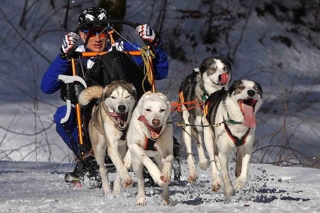 Schlittenhunderennen in Todtmoos wegen Schneemangels abgesagt