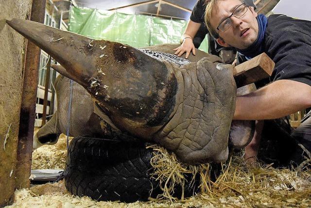 Nashornseniorin nach erster Zahn-OP wohlauf