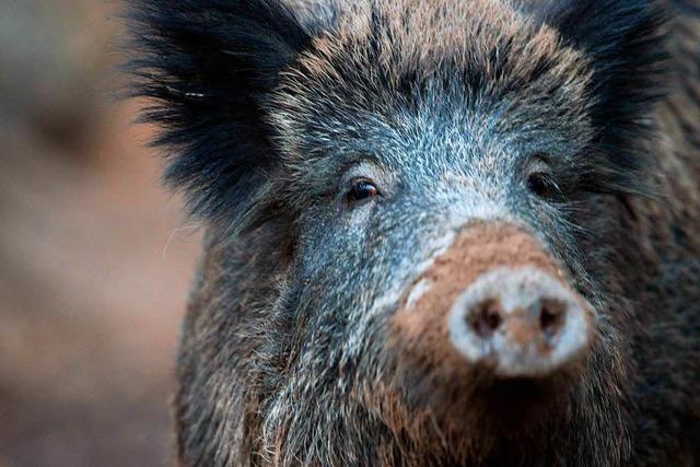 Müssen Jäger wegen der Schweinepest mehr Wildschweine erlegen?