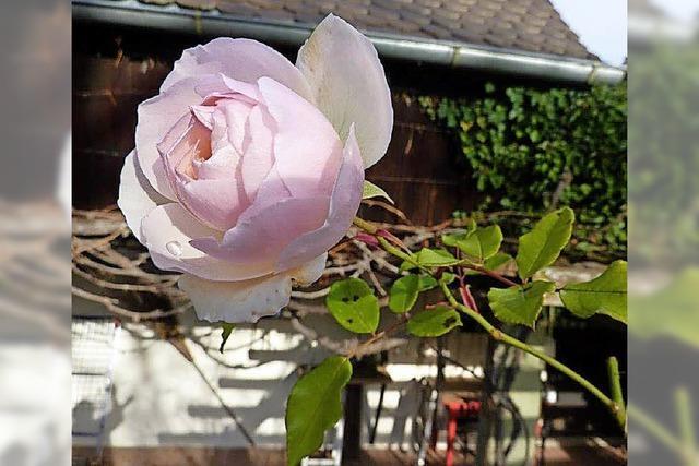 Eine Rose im Januar