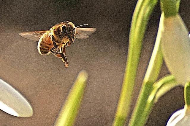 RHEINFÄLLE: Von wegen Bienenfleiß