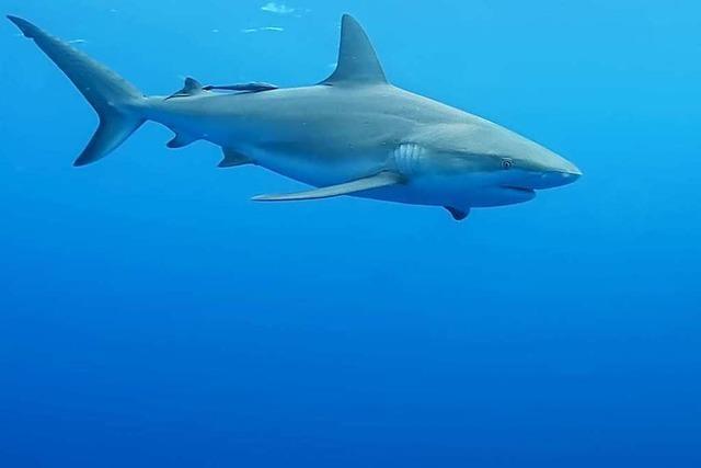 Warum sind Haie gefährdet?