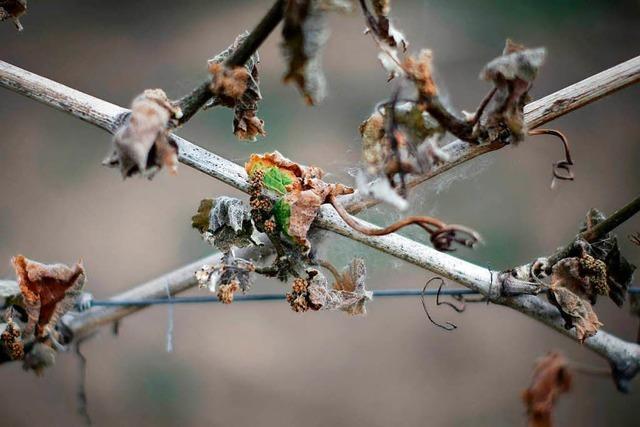 Land hilft Winzern mit mehreren Millionen Euro wegen Frostschäden