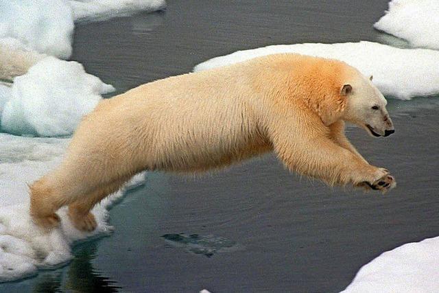Klimawandel setzt Eisbären auf Diät