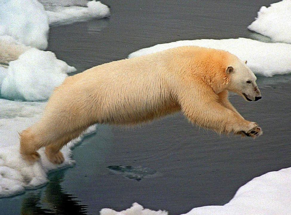 Eisbären finden immer weniger geeignete Schollen.   | Foto: dpa