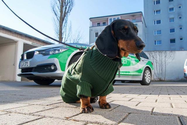 Dackel Olga trägt Polizeiuniform des Frauchens auf