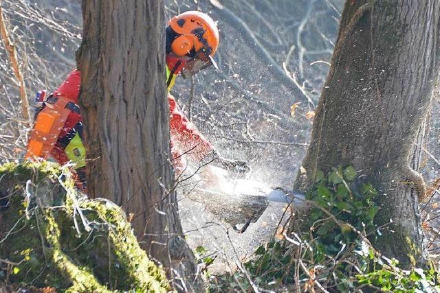 In Grenzach-Wyhlen werden bis zu 180 Jahre alte Bäume gefällt