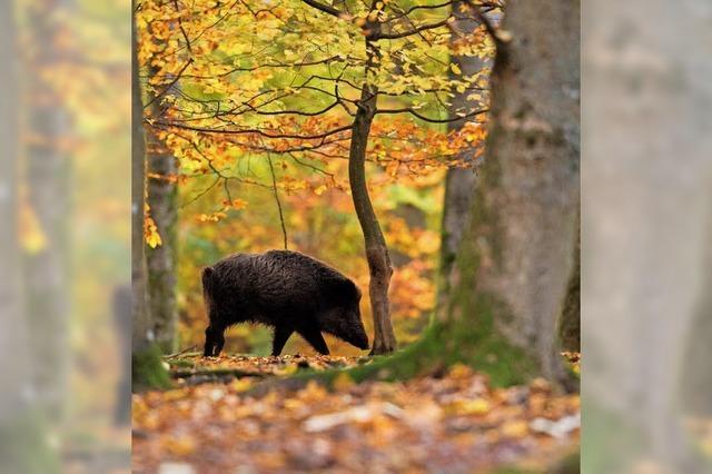Jäger sollen mehr Schweine schießen