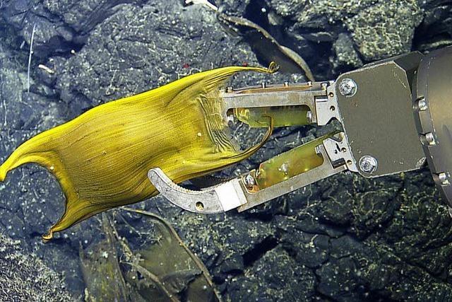 Galapagos-Rochen lassen ihre Eier in heißen Quellen ausbrüten