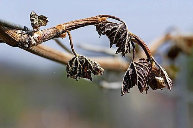Strategien gegen Frost im Wein- und Obstbau