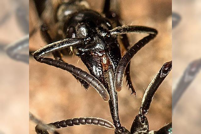 Ameisen als Sanitäter