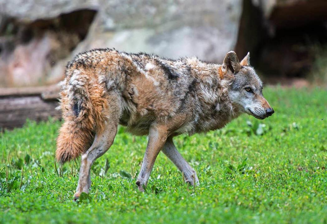 Wer hat den toten Wolf aus dem Schluchsee auf dem Gewissen?  | Foto: dpa