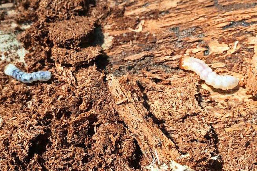 Die Larve eines Borkenkäfers  | Foto: Michael Kilian