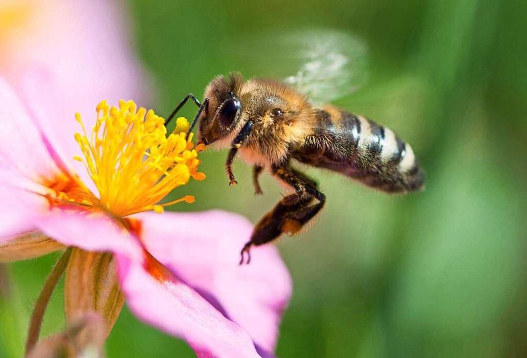 Eine Biene sammelt  den Nektar von einem rosafarbenen Sonnenröschen ein.  | Foto: dpa