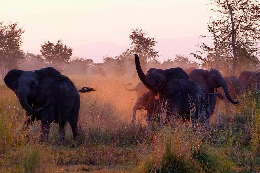 m Gorongosa-Nationalpark (Mosambik) leben nun auch südafrikanische Elefanten.  | Foto: Florian Sanktjohanser