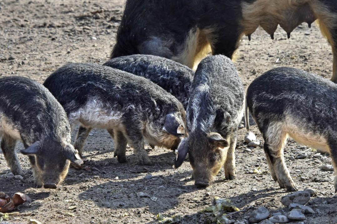 ...und die Wollschweine.  | Foto: Michael Bamberger