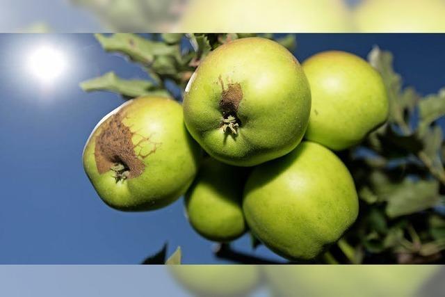 Apfellager leeren sich