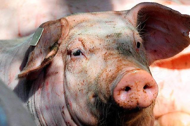 Tierschützer brechen in Stall ein – und werden freigesprochen