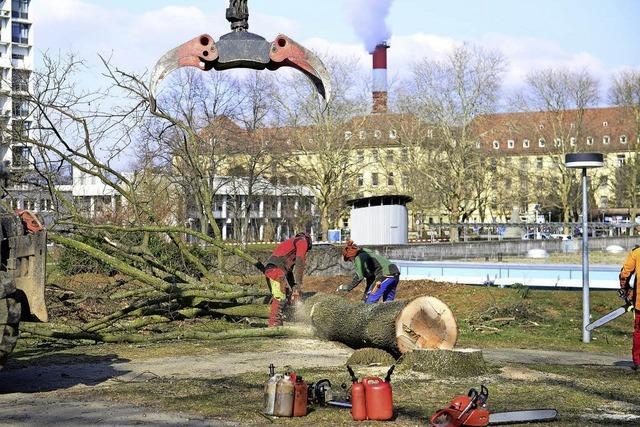 Baumfällung auf dem Klinikgelände