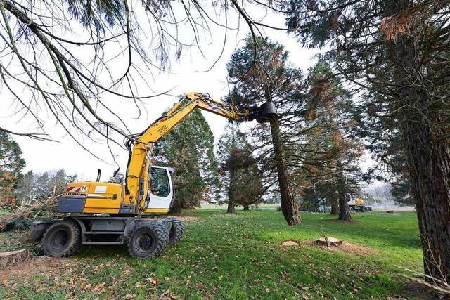 Video: Mammutbäume verschwinden aus dem Freiburger Seepark