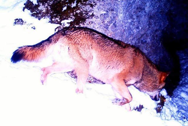 Wolf im Oberen Donautal von Wildtierkamera fotografiert