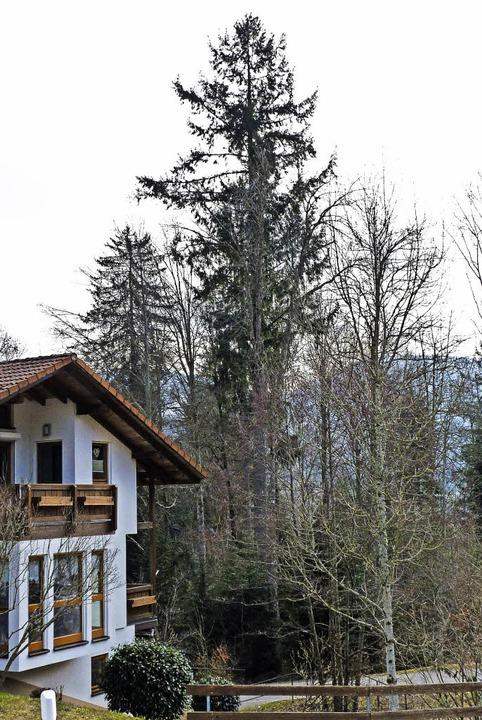 Die 50 Meter hohe Dießlin-Douglasie am...r Wohnhaus fallen, fürchten Anwohner.   | Foto: sattelberger