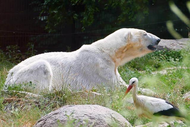 Zoo Mulhouse: Obst essen mit dem Eisbär