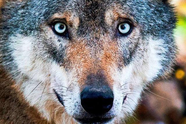 Landesregierung will Wolf