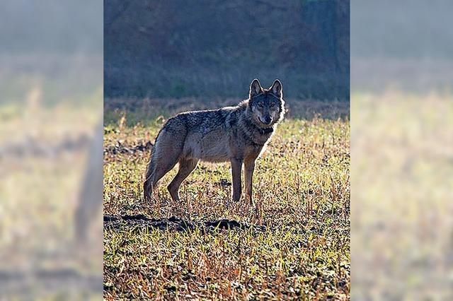 Wolf wird zum Gemeinschaftsprojekt
