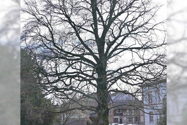 Stadt möchte Bäume schützen lassen