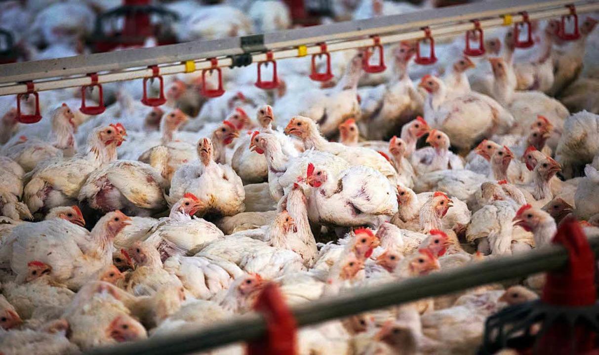 Viele Hühner, wenig Platz  | Foto: dpa