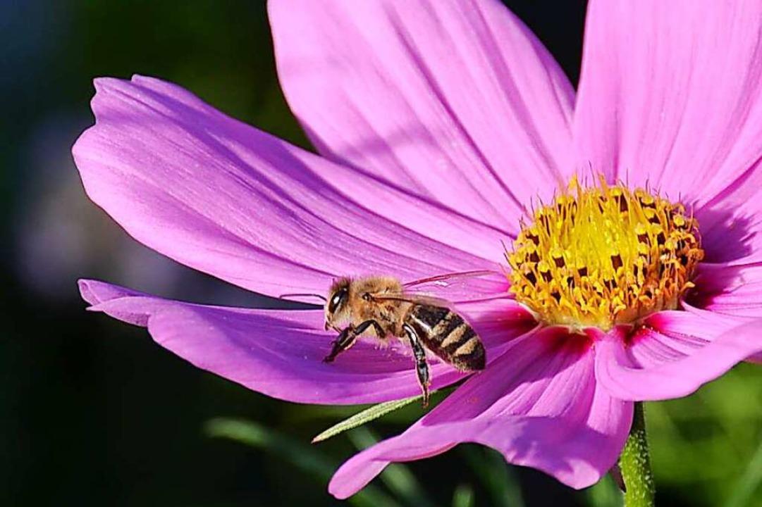 Die Honigbiene ist nur eine von hunderten Bienenarten.  | Foto: Gabriele Hennicke
