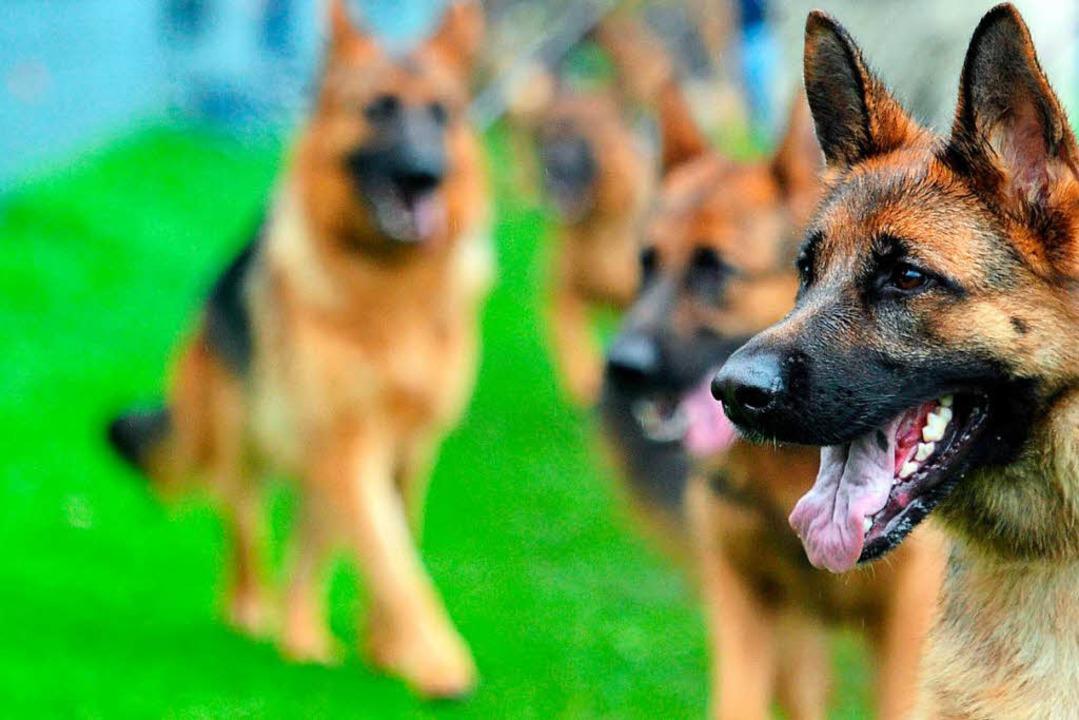 Schäferhunde, wie Irgo, der Hunde eine...in Tokio statt in Kansas City landete.  | Foto: dpa