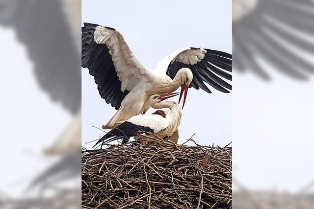 Kampf um Nest und Partnerin