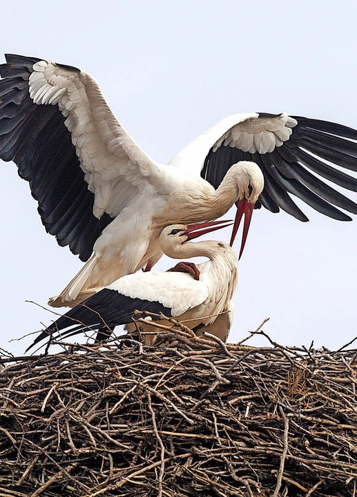 Zwei Störche balzen in ihrem Nest: Die...de sogar schon das erste Ei entdeckt.   | Foto: dpa/Schöneberg