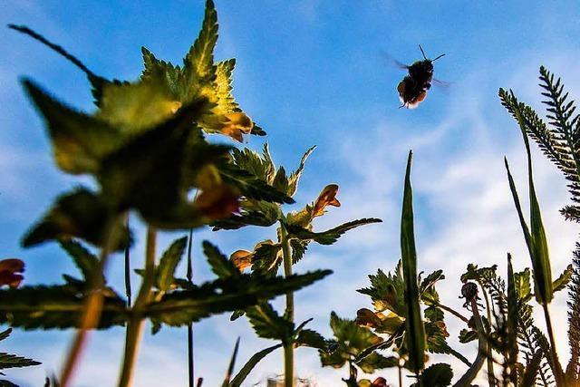 Land will Insekten am Straßenrand ansiedeln - Kritik aus Gundelfingen
