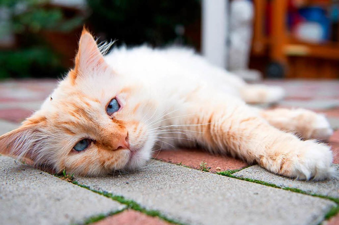 Immer wieder werden verletzte Katzen g...ärztliche Hilfe brauchen. (Symbolbild)  | Foto: dpa
