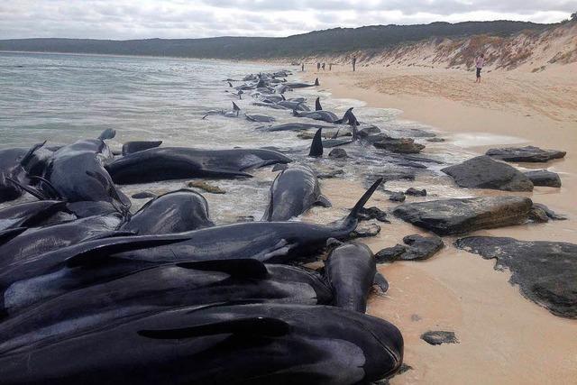 Über 150 Wale stranden in Australien