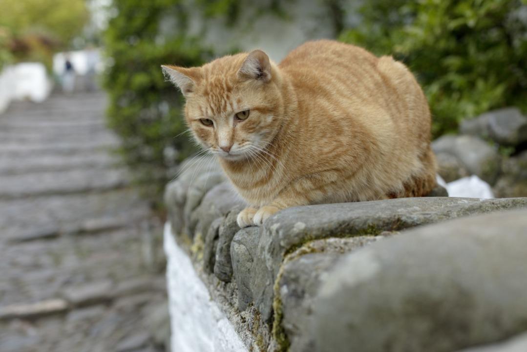 Auf der Lauer: Katze auf der Mauer  | Foto: ? Markus Kirchgessner